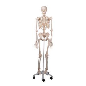 3b A10 Emberi csontváz/Human skeleton model