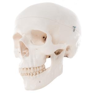 3b scientific A20 Koponya (3 részes) /Anatomic Skull (3-piece)